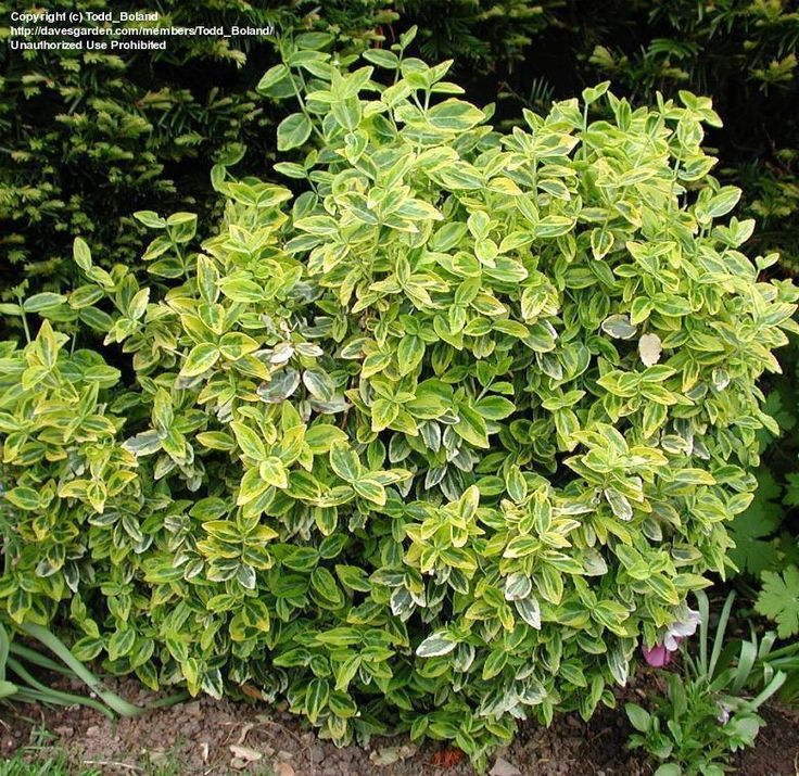 euonymus emerald and gold - Google Search