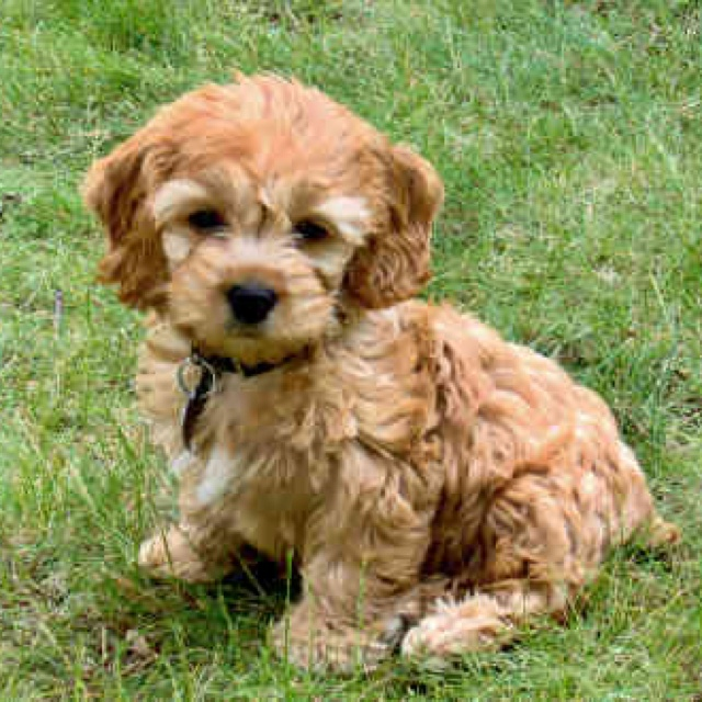 37 Best Cockapoos Images On Pinterest Cockapoo Puppies