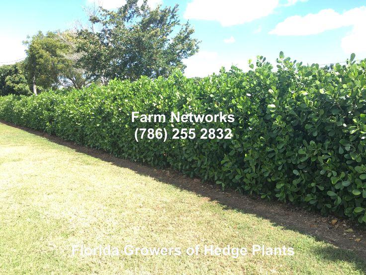 Clusia Hedge of South Florida