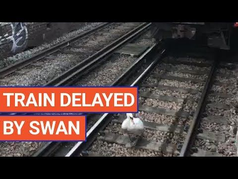 Train Delayed In Italy By A Swan