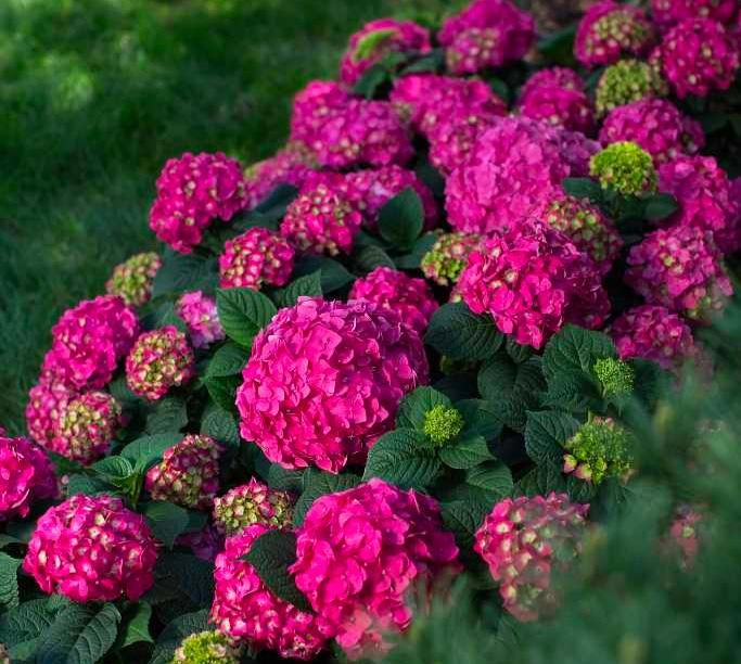 Dombeya Walichii Thank You Massi Miliano Flowers Beautiful Hydrangeas Pink Flowers
