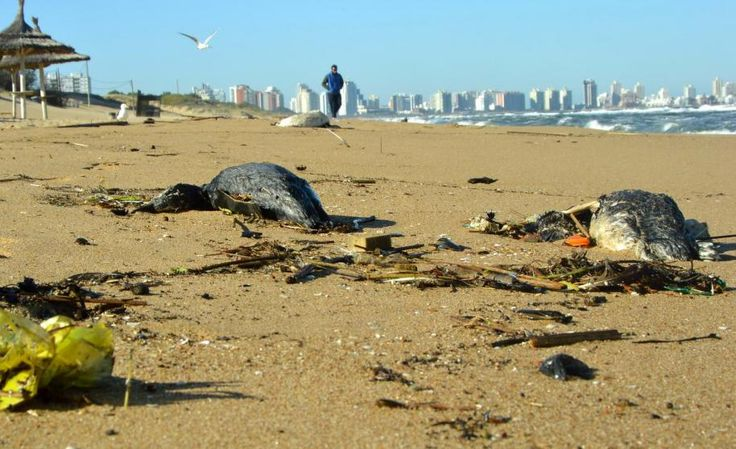 Aparecen más pingüinos muertos en costas del este | Noticias Uruguay y el Mundo actualizadas - Diario EL PAIS Uruguay