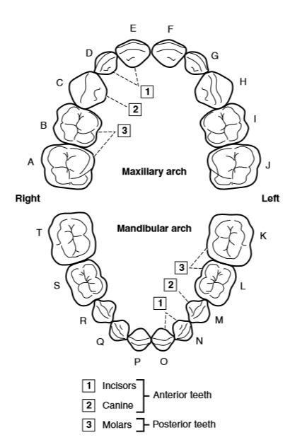 Tooth Types With Their Specific Anatomy Are Related To Mas Ticatory Function