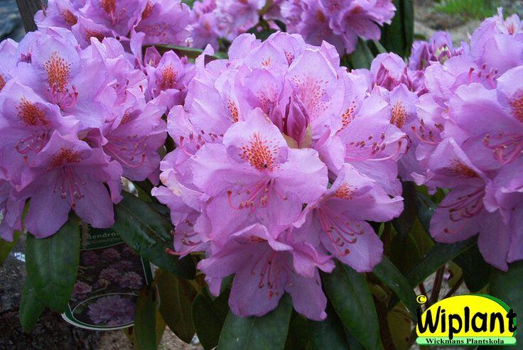 Rhododendron 'Grandiflorum'. Vanligast, ljuslila. Rikblommande. Höjd: 1,8-2 m.