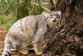 Resultado de imagem para gatos raros