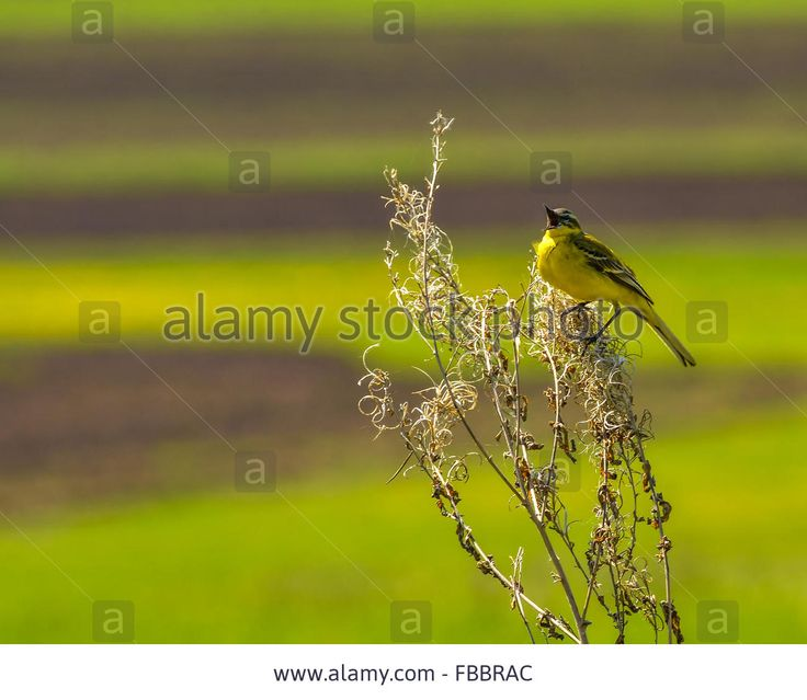Stock Photo - Yellow wagtail (Motacilla flava) sitting on a branch