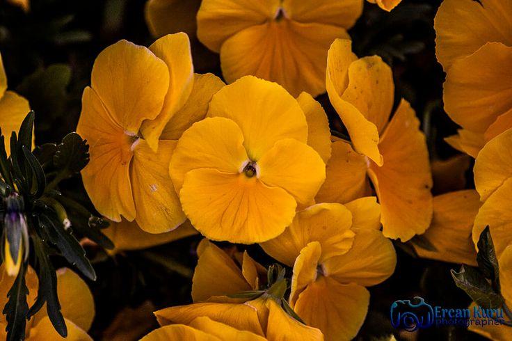 Gök mavi, dal yeşil, tarla sarı... http://www.ercankuru.com.tr/project/cicek-bahcesi/   #çiçek  #flower  #çiçekler  #flowers  #çiçekbahçesi  #flowergarden  #çiçekçi  #florist  #makro  #macro  #sarı  #yellow  #sarıçiçek  #yellowflower