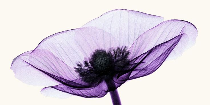 Anemone X-ray 2 by coopr.deviantart.com on @deviantART
