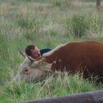 Összeesik a tehén a mező közepén a férfi szeme láttára – mikor megtudja miért nem tudja otthagyni őt
