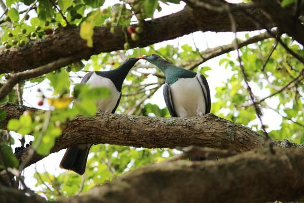 This winning photo of two kissing kereru was captured by Ross Weinberg of Cambridge.