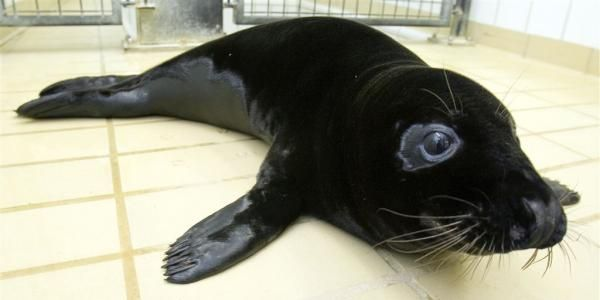 Melanistic seal. Melanism is an undue development of dark-colored pigment in the skin or its appendages and is the opposite of albinism. The word 'melanism' is deduced from a Greek word that means...