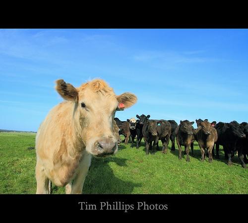 Tasmania Australia Cattle