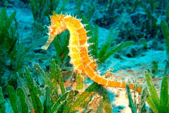 Среди обитателей морей и океанов нередко встречаются достаточно интересные и необычные представители подводной фауны, о которых мы, к сожалению, мало что знаем. Одним из таких жителей морских вод является морской конек, отличающийся от остальных обитателей морей своим необычным внешним видом. Но помимо своей удивительнейшей формы тела онимогут похвастаться еще некоторыми особенностями и интересными фактами: — эти морские костистые рыбки семейства морских игл, по внешнему виду очень схожие с…