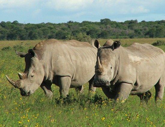 La última actualización de la Lista Roja de Especies Amenazadas de la UICN revela que la subespecie del rinoceronte negro en África…