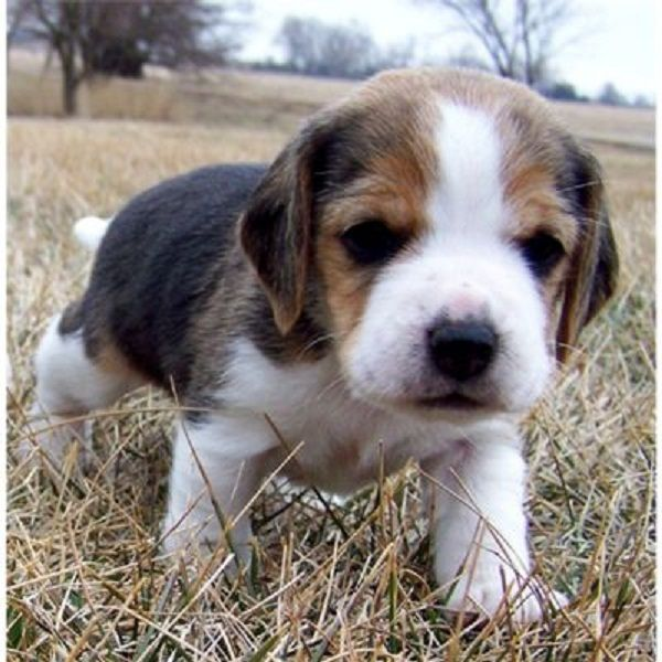 beagle puppies for adoption Zoe Fans Blog Cute Baby
