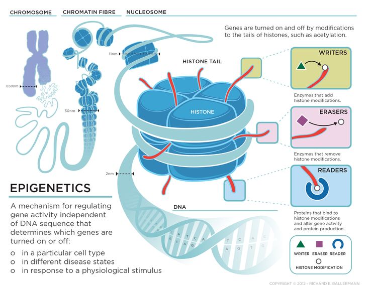 epigenetics_large.jpg 2 100 × 1 650 pixels This is just a good visual overview, no link.