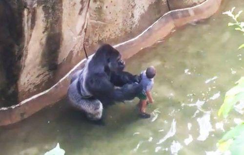 Vidéo choquante: un enfant de 4 ans tombe dans l'enclos du gorille, le zoo tue le gorille!