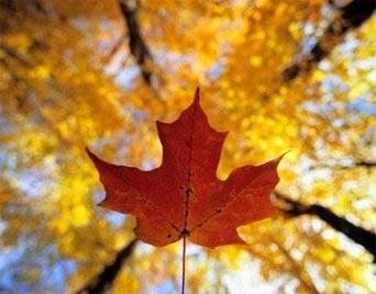 Outono no Canadá - A paisagem de outono é tão típica do Canadá que o símbolo do país é uma folha seca de arvore de bordo, a qual produz o famoso Maple Syrup.