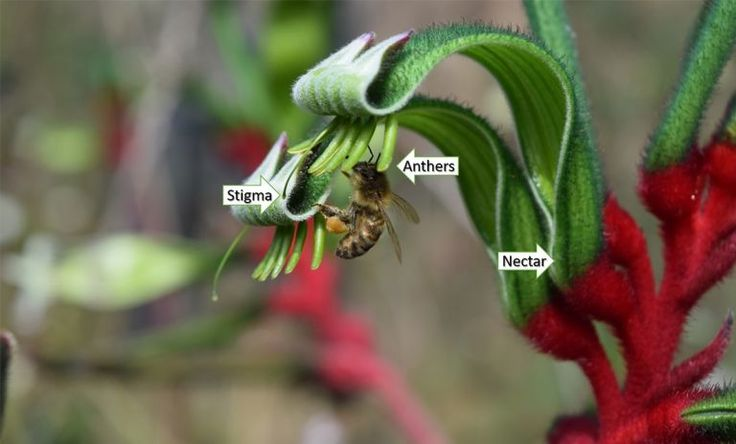 Kangaroo Paw - How #wildlife pollinates WA's floral emblem | Particle    Pictured: The reproductive parts of the #kangaroopaw #flower, showing the #stigma (female part), #anthers (male part) and #nectar