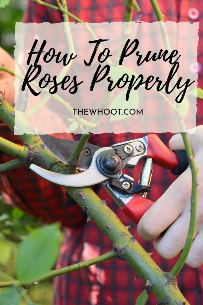 How To Prune Roses Properly Video The Whoot Prune Trim Rose Bushes Pruning Roses