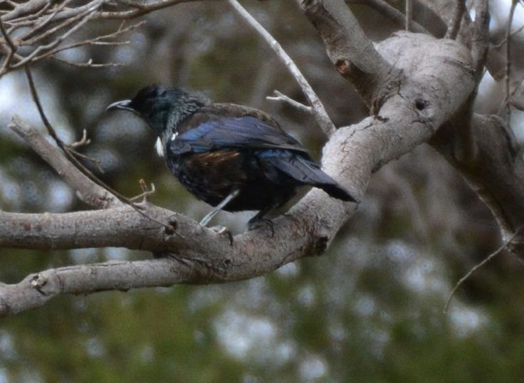 I was extremely excited to capture this photo of our Native Tui bird whilst strolling through Hells Gate!!