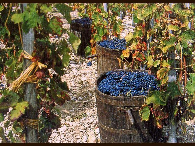 Risultati immagini per pigiatura vino