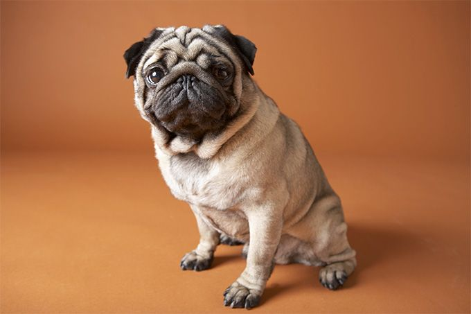 Pug information including pictures, training, behavior, and care of Pugs and dog breed mixes.
