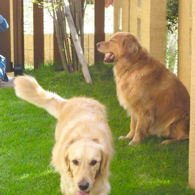 Ueshin Jp On Instagram お庭は家族みんなで楽しむもの もちろんペットも一緒に ペットが安心して気持ち良く過ごせるお庭はどんなお庭でしょうか Golden Retriever Instagram Animals