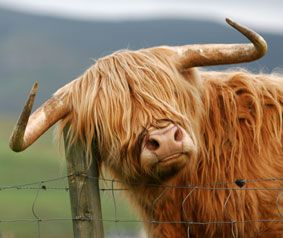 I used to live in the Highlands and these guys we all over the place . They just look the part !