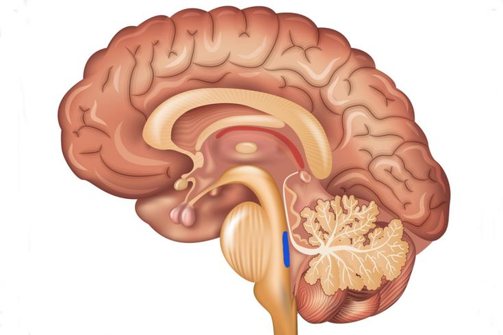 The locus coeruleus is a small, bluish part of the brainstem that releases norepinephrine, the neurotransmitter responsible for regulating heart rate, attention, memory and cognition.  It appears to be the first place affected by late onset Alzheimer's disease.