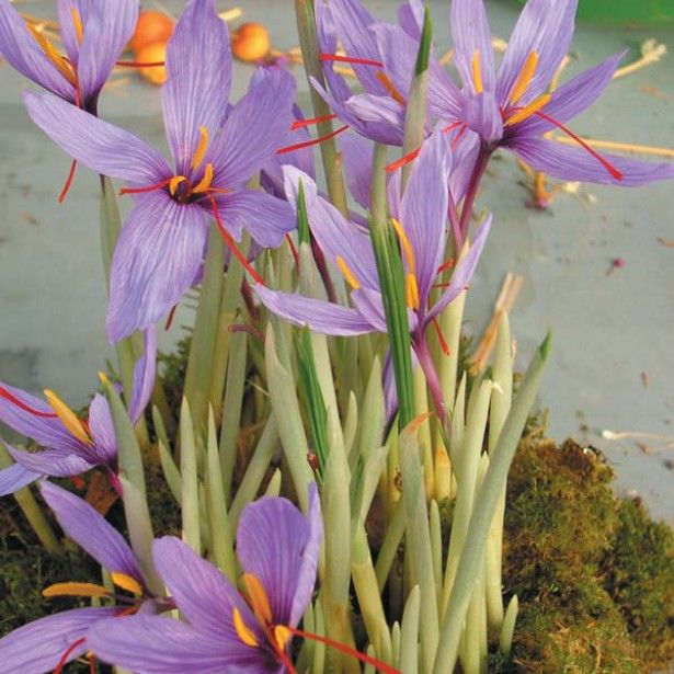 Crocus sativus ou Crocus à safran 8+, plantez-les en été et récoltez-les à l'automne ! #saffron #crocus #crocussativus #sativus #safran http://www.promessedefleurs.com/floraisons-automnales/crocus-safran-crocus-sativus/crocus-sativus-ou-crocus-a-safran-8-p-320.html