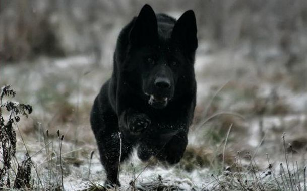 Magnificent. GSD - black monster