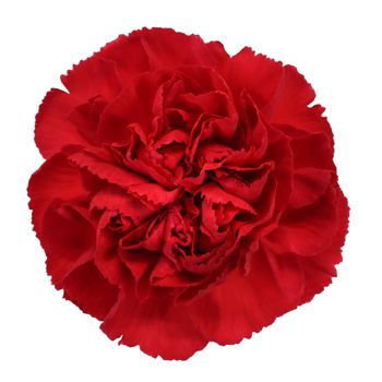 FiftyFlowers.com - Red Carnation Flowers
