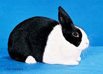 The Dutch rabbit.....my job :D