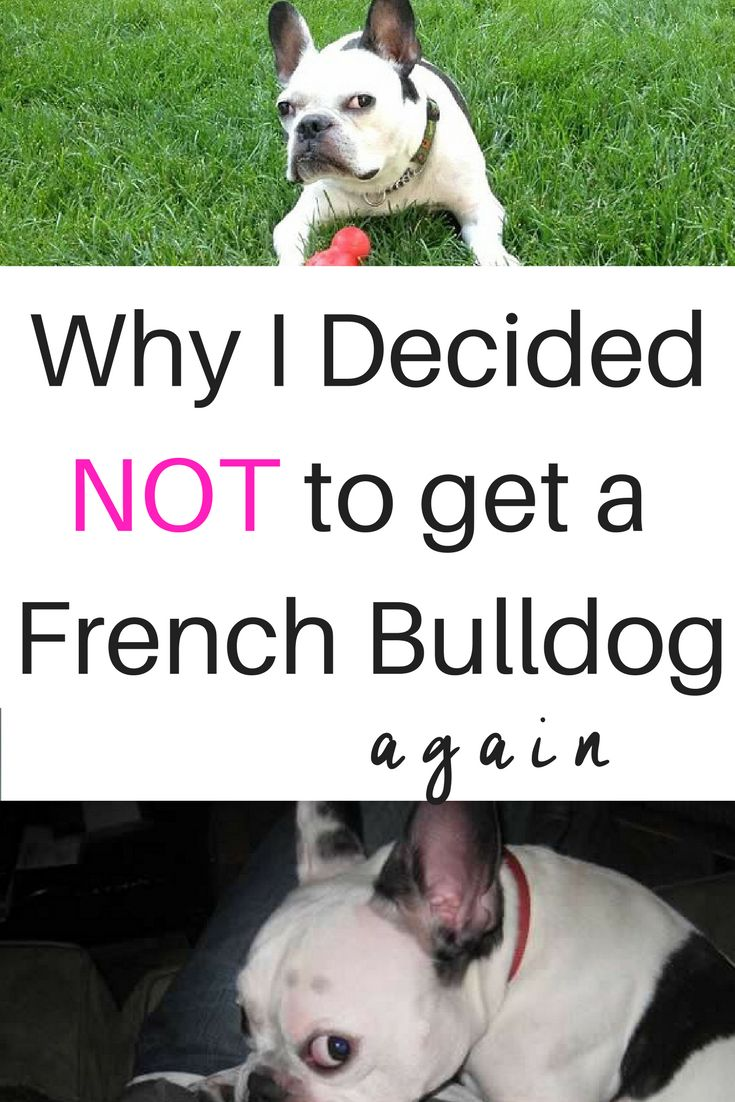 The Frenchie has become one of the most popular breeds and my favorite breed. Find out why I didn't get a French Bulldog puppy this time.