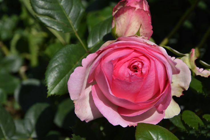 Z oferty róż w Centrum Floraj