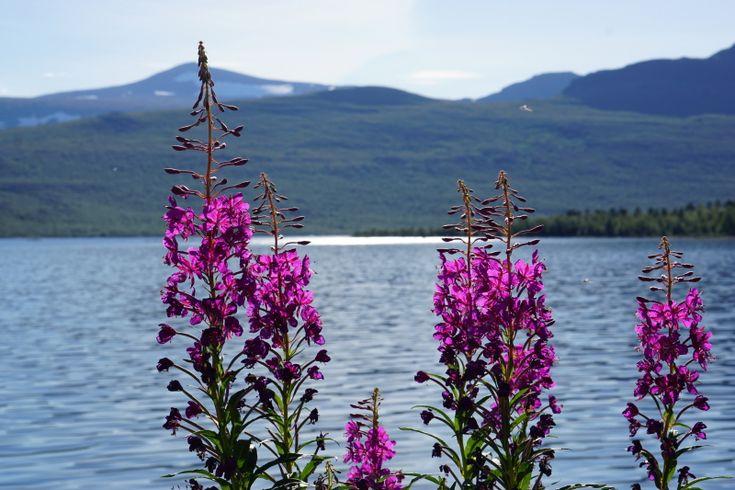 Rallarrosen – en riktig höjdare! – Essense of Lapland