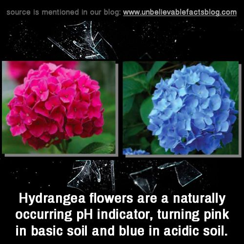 Hydrangea flowers are a naturally occurring pH indicator, turning pink in basic soil and blue in acidic soil.