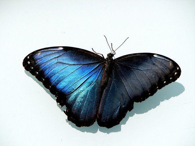 Blue Morpho Butterfly (Morpho peleides)   Tattoo   Pinterest