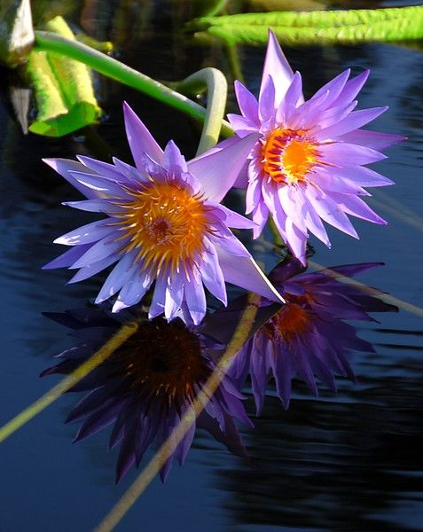 Longwood Waterlilies