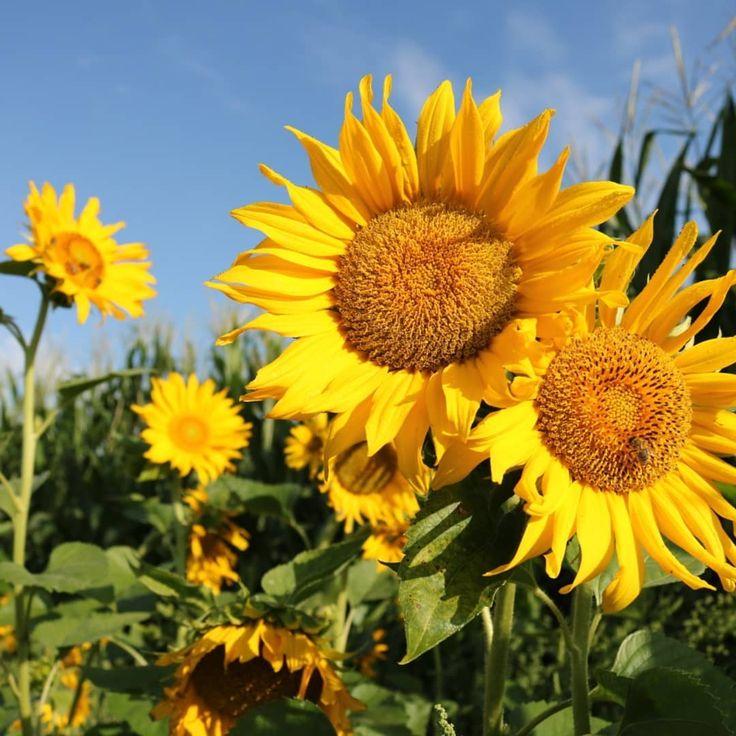 Auszug aus meiner kleinen Fototour von letzter Woche 🤗 … #sonnenaufgang #sonnenblumen #wiese #spinnen #insekten