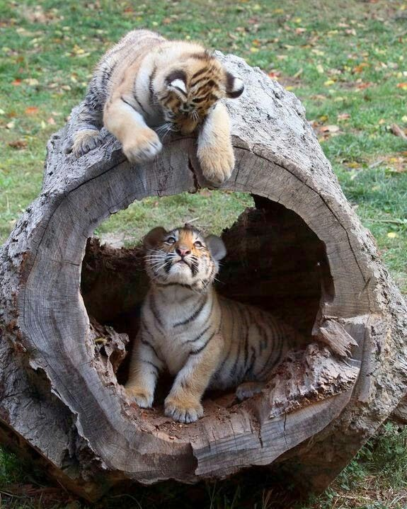 Cute tiger cubs!