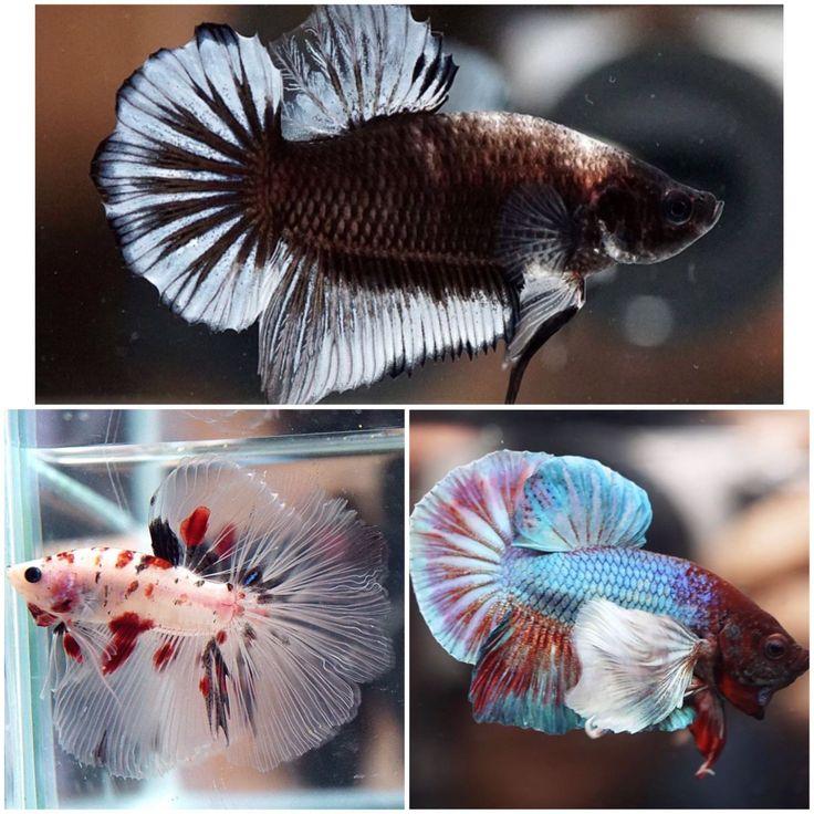 3 Live Betta Fish Male SIAM PANDA HMPK SHOWA KOI HM MAROON DUMBO HMPK