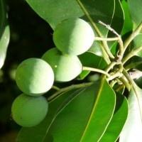 Les amandes de Tamanu. Une fois séchées au soleil, elles produisent une huile de beauté aux mille vertus