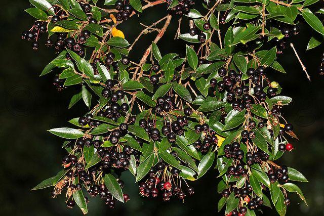 Amomyrtus luma (Luma) maqui..  https://c2.staticflickr.com/6/5229/5682245657_f54e1cd0b8_z.jpg