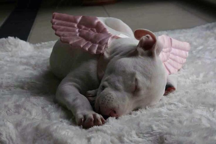Pit bull angel | pit bulls | Pinterest | Dogs, Puppies and Animals