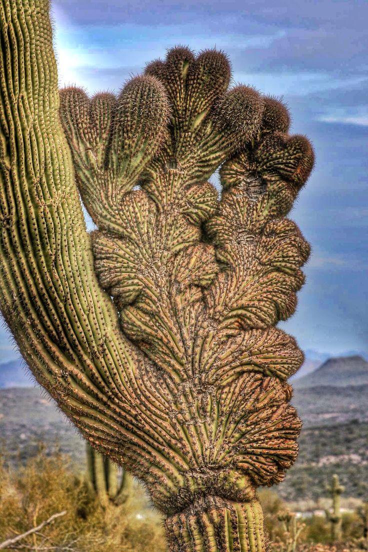 Crested Saguaro - Arizona Cactus
