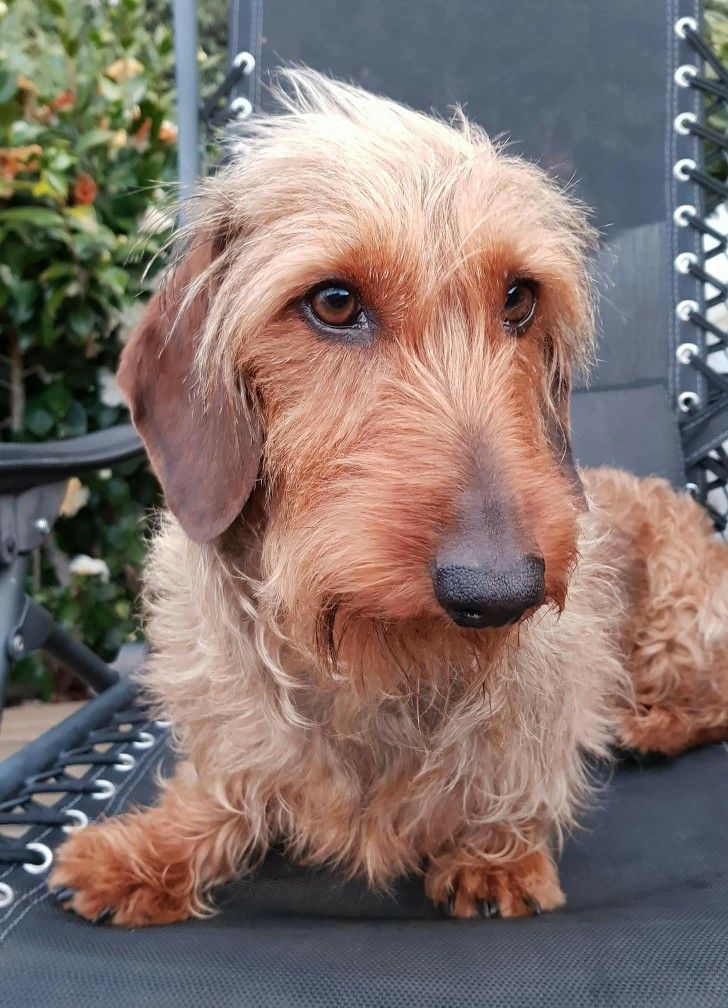 Dachshund Wirehaired Wire Haired Dachshund Dachshund Lovers Dog Rules