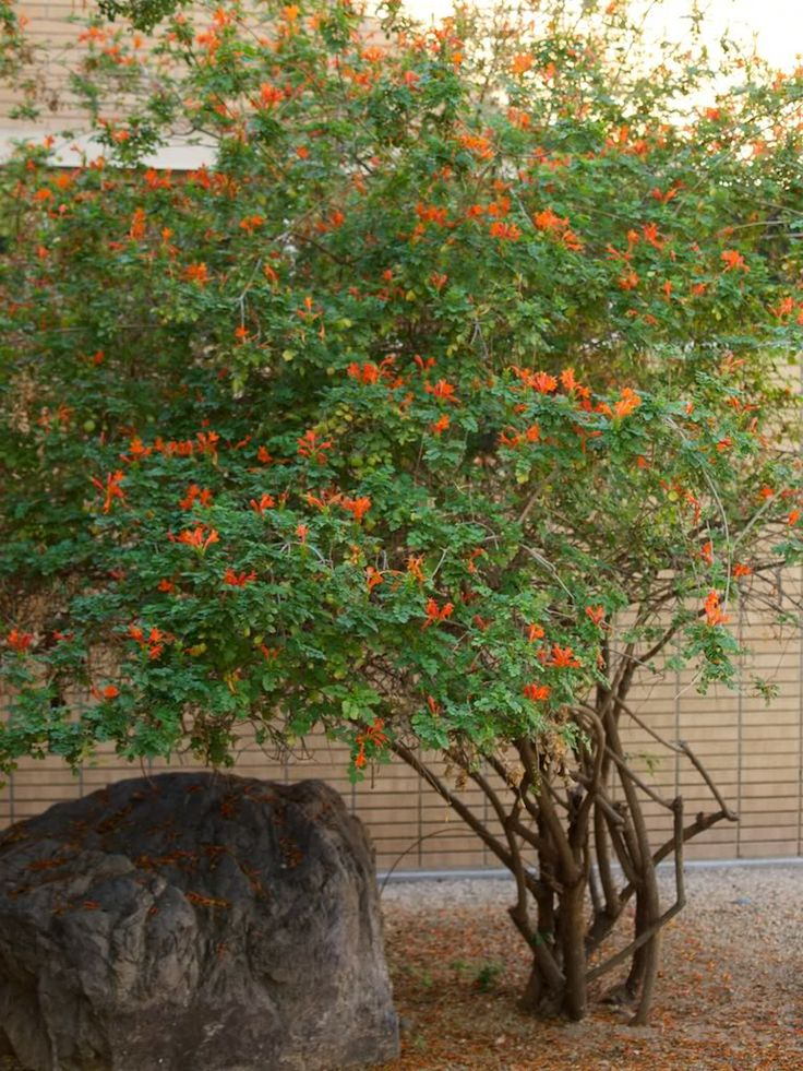 Tecomaria capensis in front of brick piller in front yard.