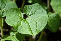 Wild ginger is found in moist, shady forests.The rhizomes can be dug from spring to autumn. Wild ginger has antibiotic and antifungal properties, and was used by Native American tribes as a seasoning and medicine.